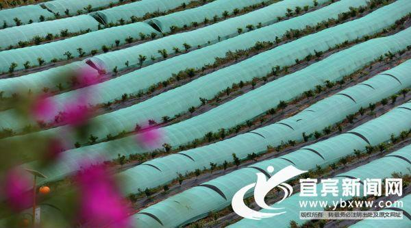 龙兴村菌类大棚种植基地。(宜宾新闻网 刘玉高 摄)
