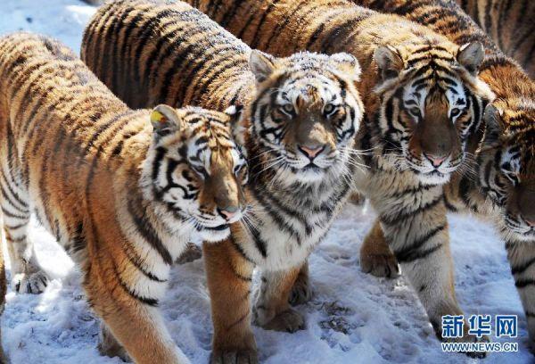 资料图:东北虎林园内,几只东北虎在散步。(新华社记者摄)