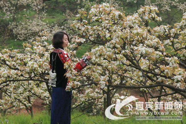 徜徉在梨花的世界。(宜宾新闻网 方勇 摄)