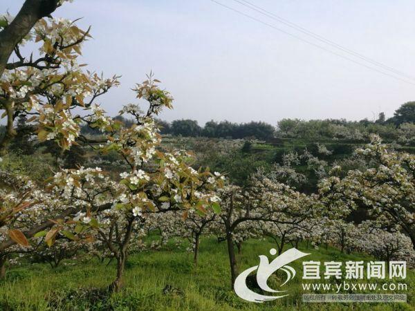 漫山遍野的梨花。(宜宾新闻网 方勇 摄)