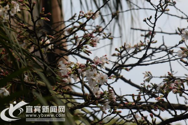 天气好,学院白色樱花开始开放。(宜宾新闻网 曾江 摄)